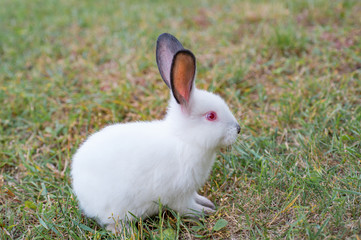 Tiny fluffy white rabbit with red eyes, sitting on the green grass
