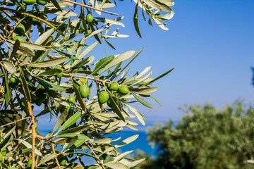 Green olive fruit on seashore