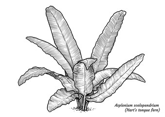 Hart's tongue fern illustration, drawing, engraving, ink, line art, vector