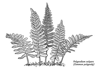 Common polypody fern illustration, drawing, engraving, ink, line art, vector