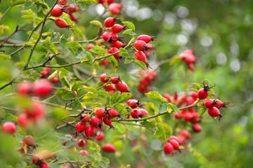 Herbstlicher Hagebuttenstrauch mit Früchten - Rosa canina