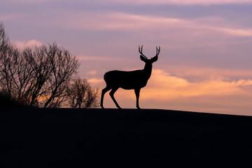 Morning Silhouette - Buck