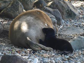 Hawaii Monk Seal mother baby feeding-10