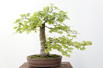Acer campestre bonsai on a wooden table and white background