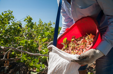 Pistachio picker unloading his red pail in a white sack during harvest season, Bronte, Sicily