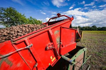 Fototapete - Kartoffelvollernter entlädt Kartoffeln aus seinem Bunker auf Transportanhänger