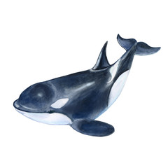 Killer whale  isolated on white background. Black fish or grampus. Watercolor. Illustration. Picture