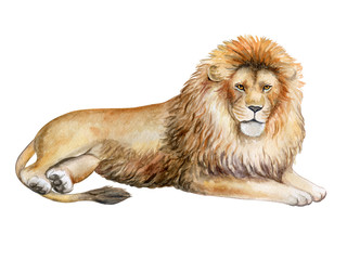 Lion isolated on white background. Watercolor. Illustration. Template