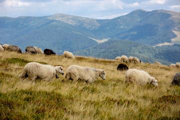 sheeps on mountain meadow