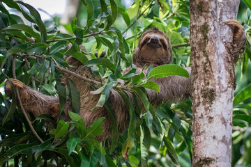 three toed sloth laying across a tree with smilin gface