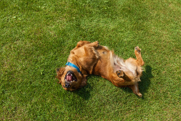 dog lying on back on green grass,mixed spaniel dogs spaniel