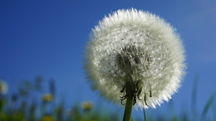 white fluffy dandelion.