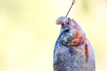 Piranha fish at Peru Amazon basin River Napo