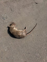 dead rat on the ground