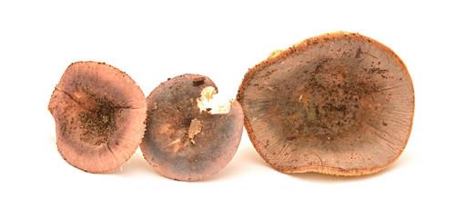 russula olivacea mushroom