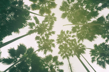Tall trees in the forest And vintage sunshine
