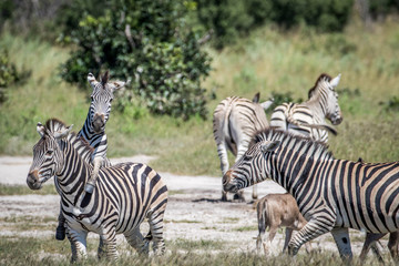 Group of Zebras playing in Chobe.