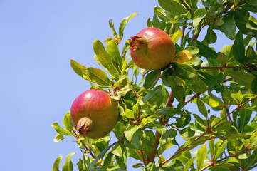 Branch of a pomegranate tree (Punica granatum) with leaves and ripe fruits against a blue sky background.  Free space for text