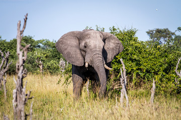 Elephant standing in the grass.