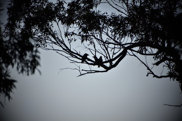 Three Kookaburras Silhouette