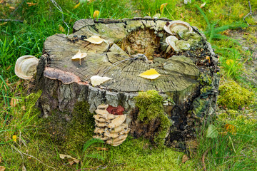 Old rotten stump with polypore mushrooms in the green grass in autumn
