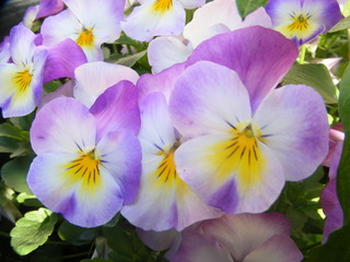 coloured pansy