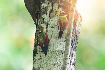 Wall Mural - Pair of parent birds woodpecker perching on cavity nest tree ,natural blurred background, family concept..Bird watching and photography is a good hobby to educate wildlife reserve attitude..