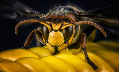 Spoed Fotobehang Macrofotografie Wasp bee head macro close-up