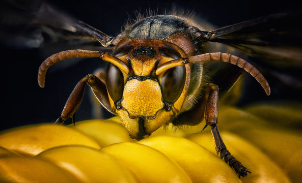 Wasp bee head macro close-up