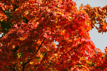 Maple tree with red leaves on a sunny day