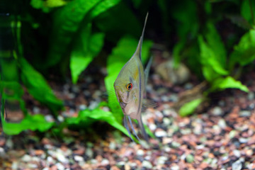 Angelfish in planted tropical aquarium, front view, shallow DOF