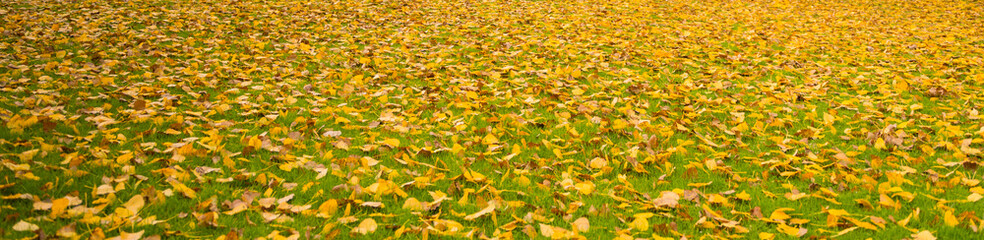 Autumn. Natural background. Autumn landscape. Carpet of yellow leaves on the grass.