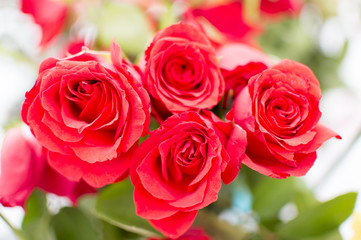 Red roses on plant