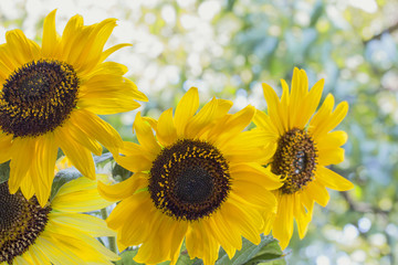 morning flowers of a growing yellow sunflower
