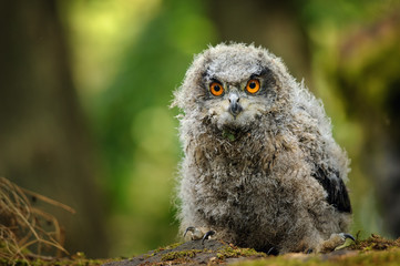 Wall Mural - Young baby eurasian eagle owl