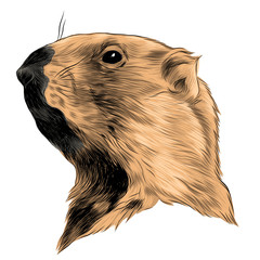 Groundhog sketch vector graphics color picture head
