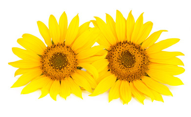 Two sunflowers isolated on white background close-up