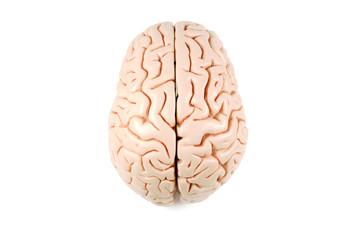 Human brain model, top view