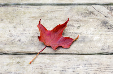 Vibrant red maple leaf lying on rustic wooden background