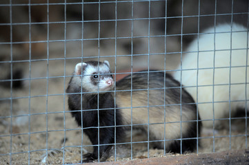 ferret in a cage