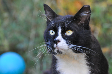 Portrait of  Norwegian Cat, Fluffy cat in the grass looking