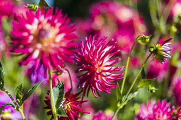 Group of pink dahlias