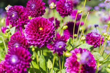 Group of purple garden dahlias