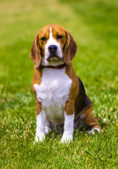 beagle dog on a green lawn. Dog beagle. Beagle dog