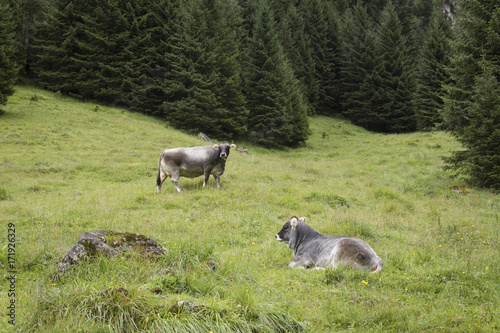 Tyrol grey cows relaxing in a meadow with green grass