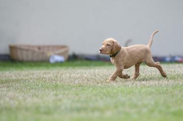 5 week old puppies of vizsla hound dog