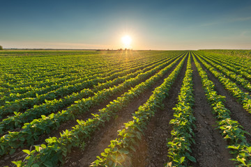 Healthy soybean crops at beautiful sunset