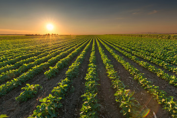 Healthy soybean crops at idyllic sunset