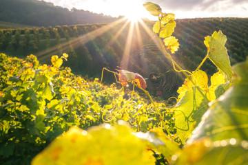 Herbstlicher Sonnenaufgang zwischen den Reben im Weinberg