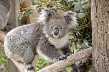 Fotorolgordijn Koala koala
